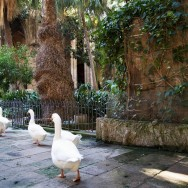 Cloister Geese Barcelona Cathedral