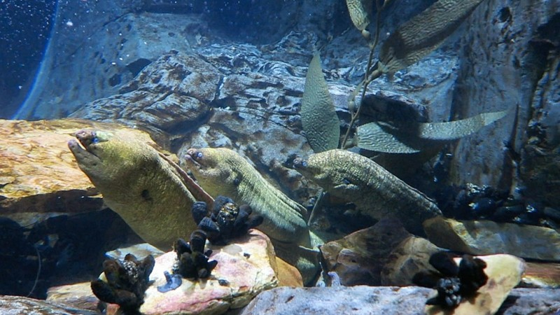 Eel Fish Tank | Green Moray Eels Aquarium Of The Americas New Orleans Louisiana