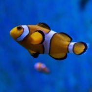Clownfish Barcelona Aquarium