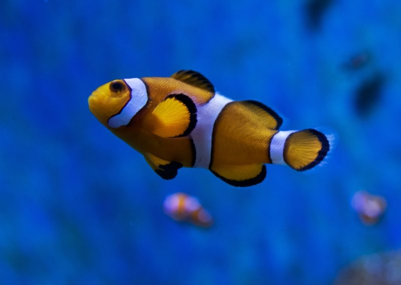 Clownfish Barcelona Aquarium